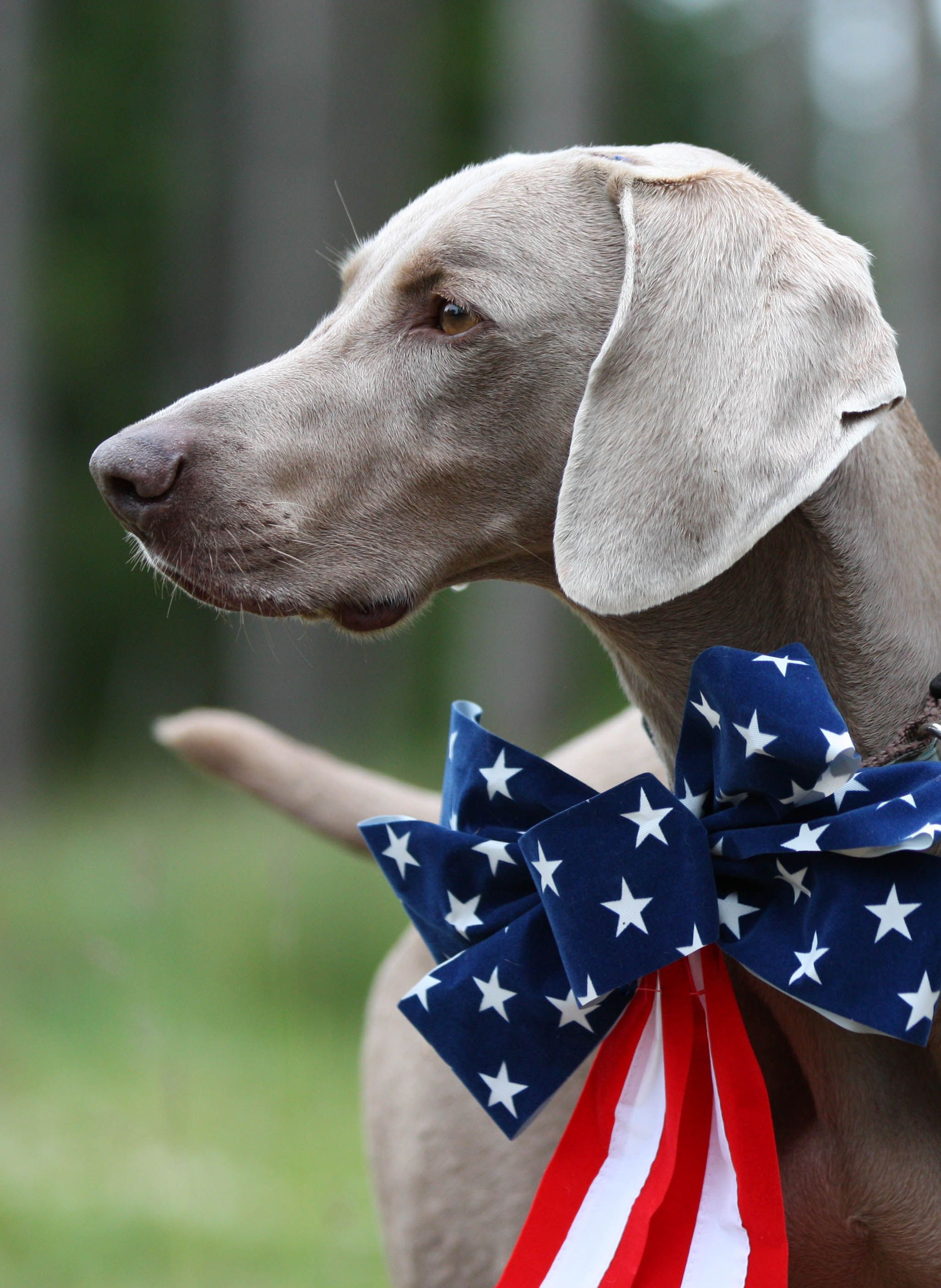 4th of July Weimaraner, Tucker Patriotic pets