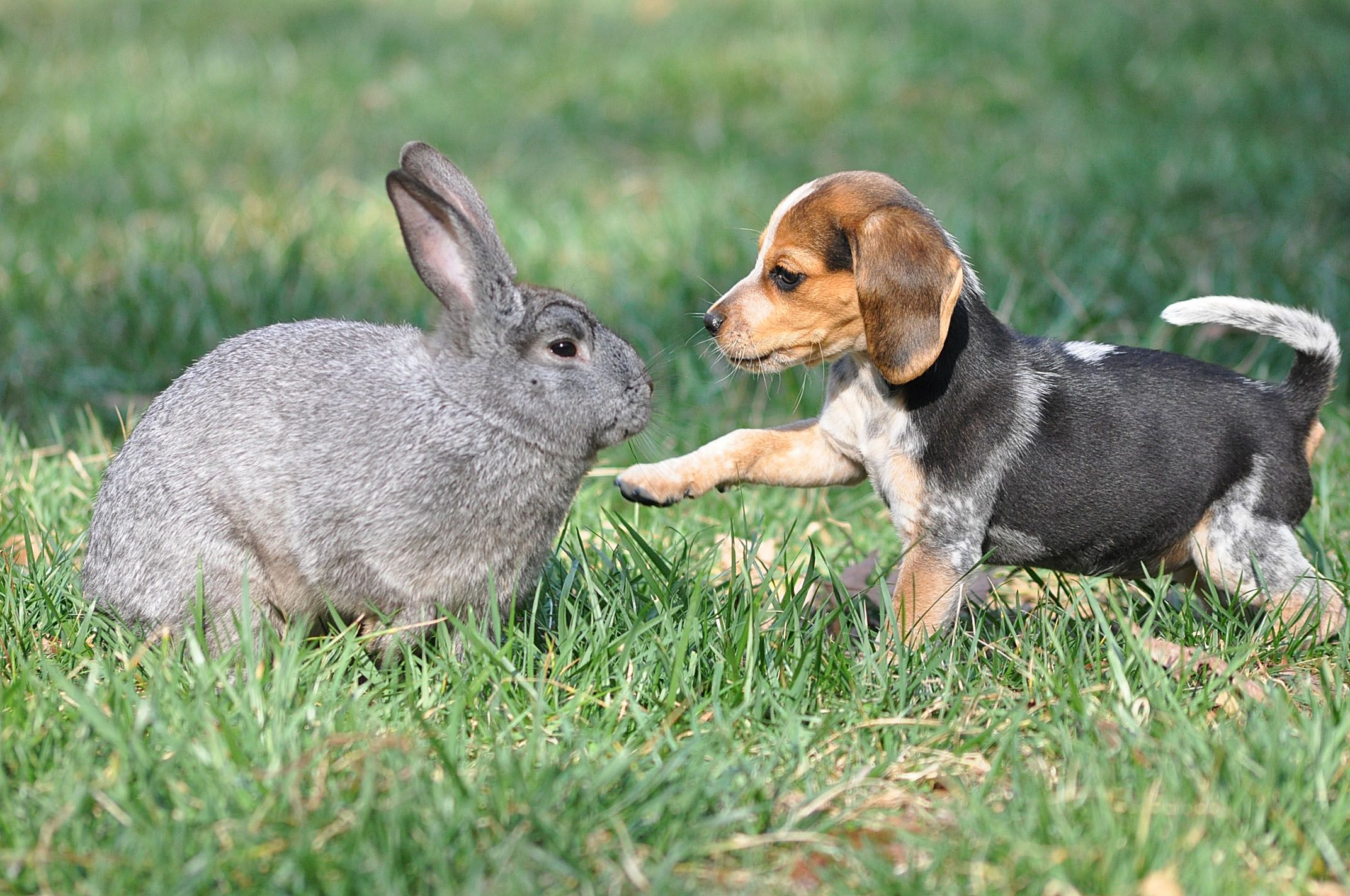 Bella Rabbit Hunting Pet Rabbit Beagle Puppy