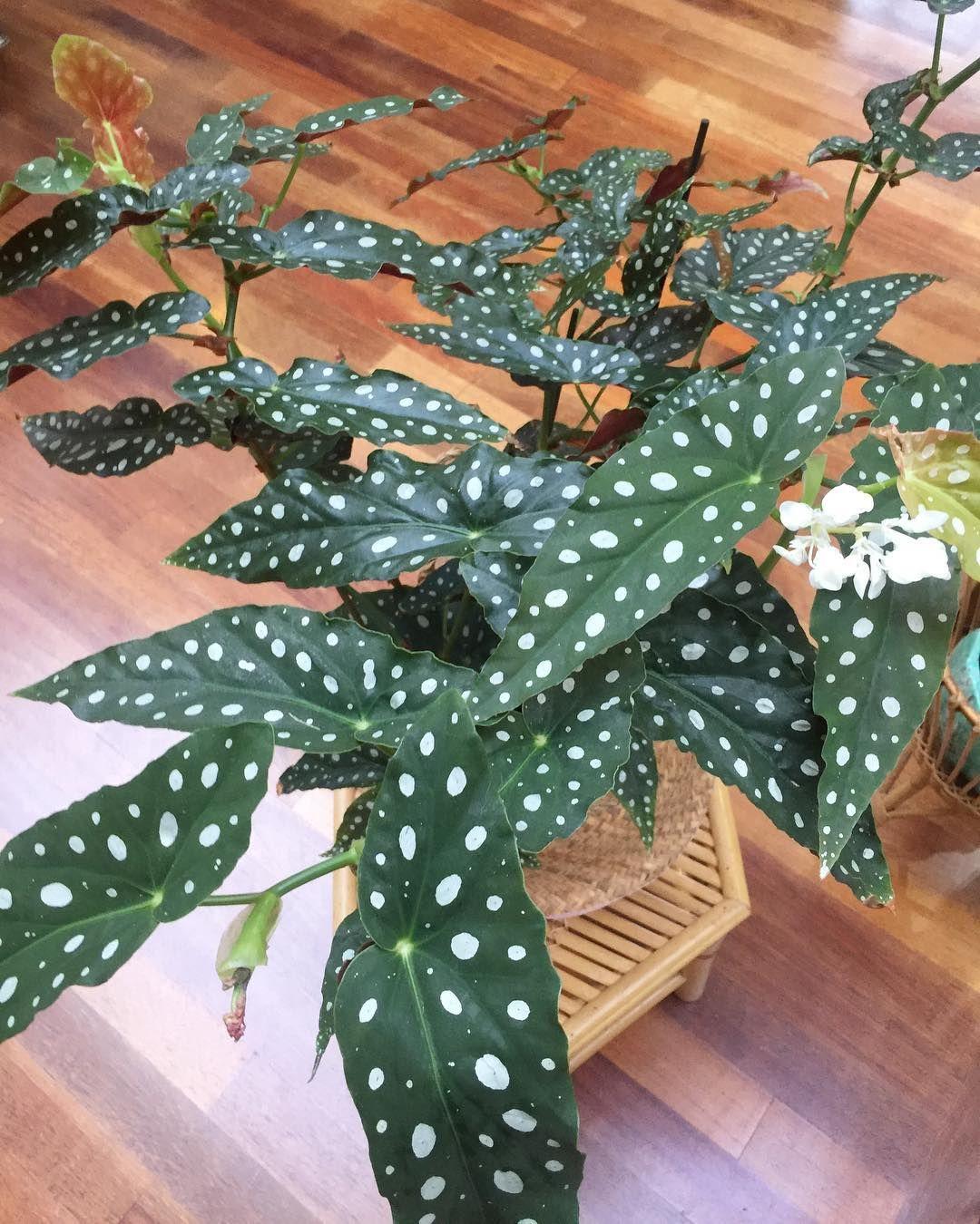 Begonia Maculata Wightii Plants Fleurs Plantes Jungle