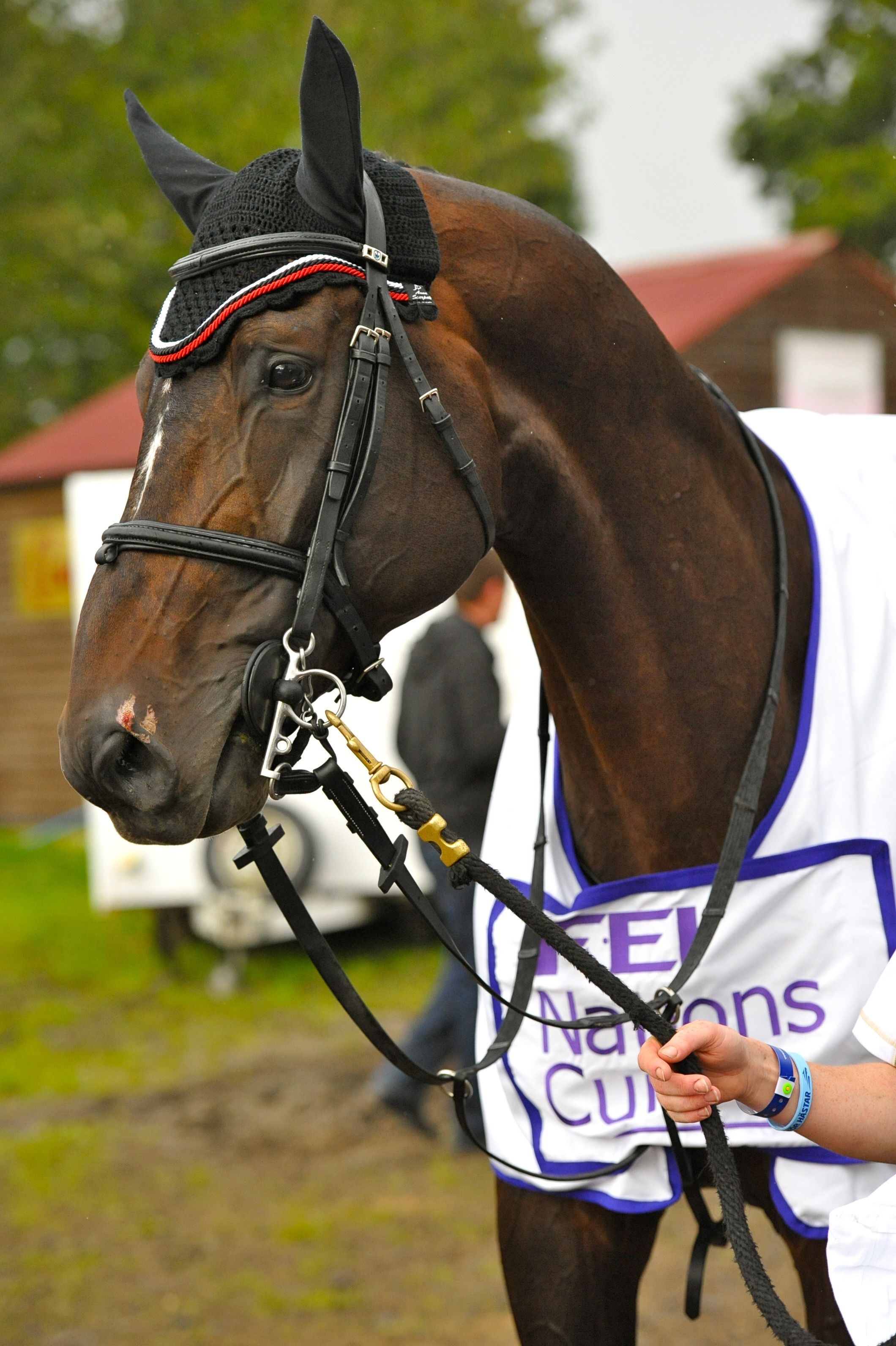 Pacino adorned with the FEI Nations Cup winning cooler for Team Ireland's win of the 2012 Hickstead Nations Cup