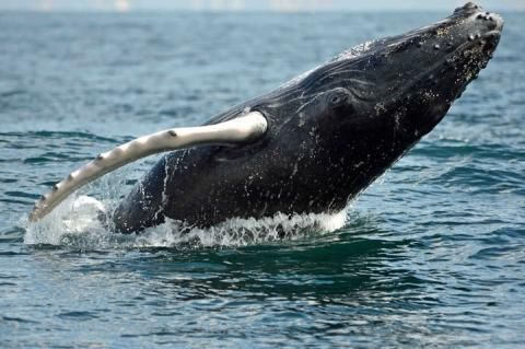 Join a Virtual Circumnavigation to Save the Oceans! Do it for your kids or this whale's kids - they'll both appreciate it.