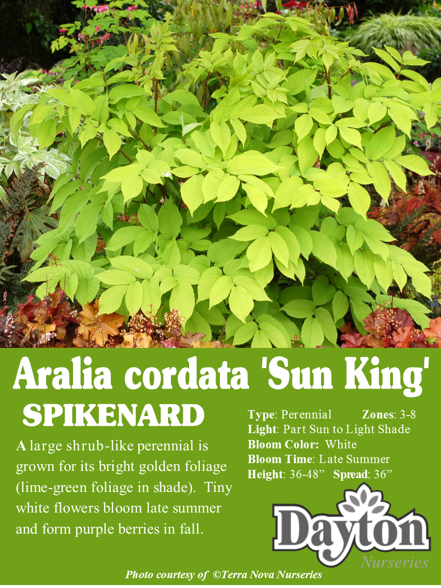 Aralia Cordata Sun King Spikenard A Large Shrub Like