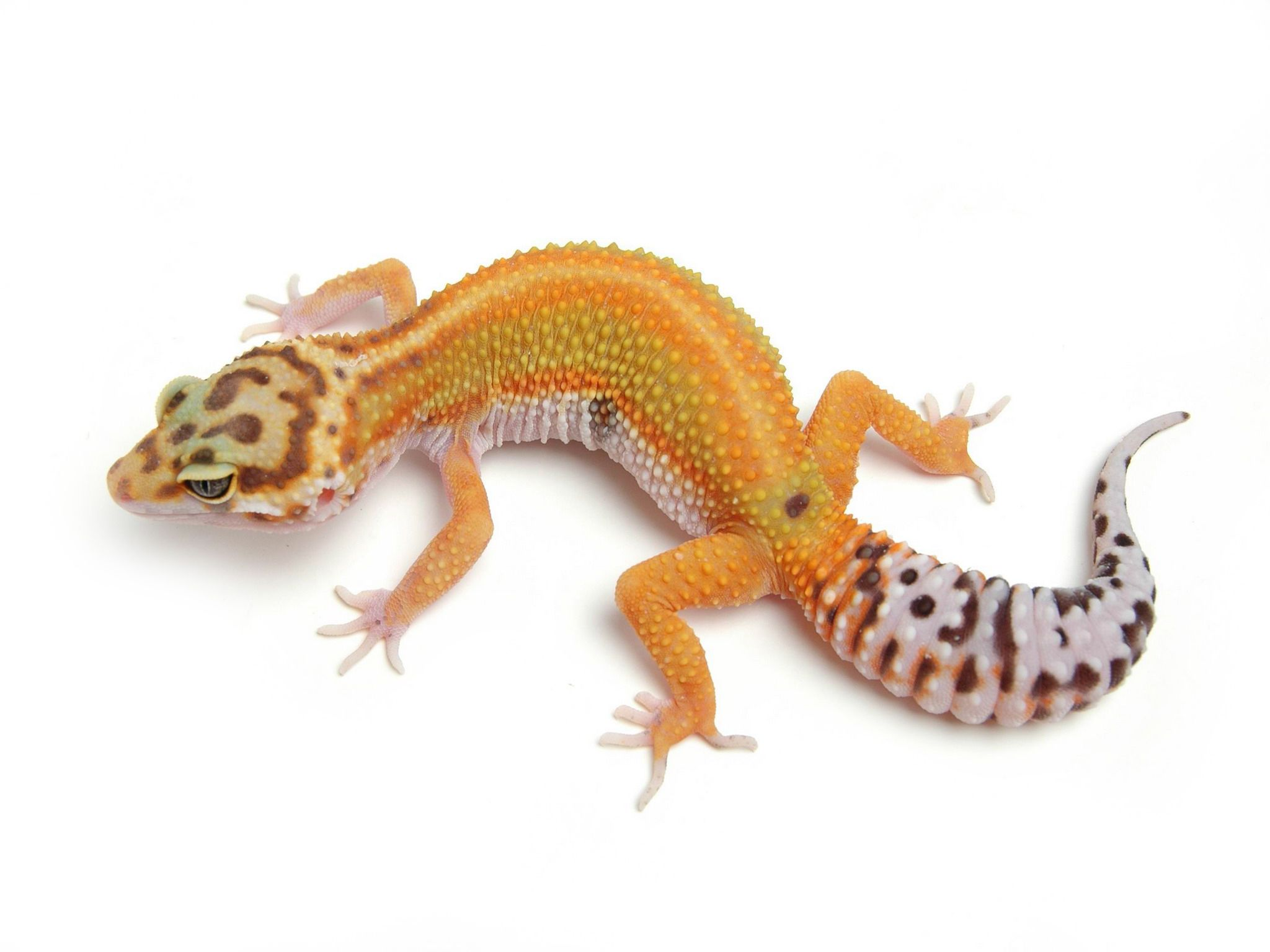 g project the urban gecko leopard gecko pinterest geckos