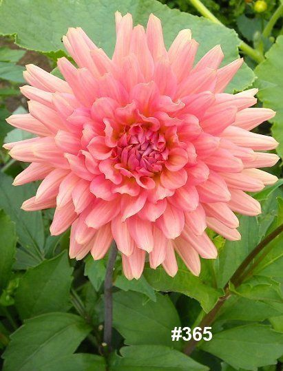 Dahlia #flower – #learn 2 #grow #dahlia http://www.growplants.org/growing/dahlia