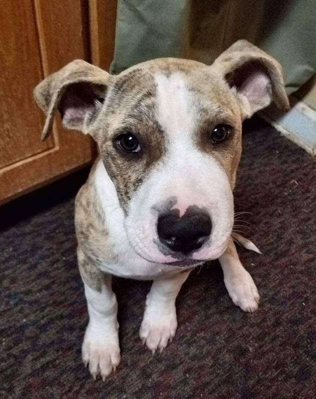 Adopt Chip On Pitbull Terrier Puppy Adoption Pitbulls