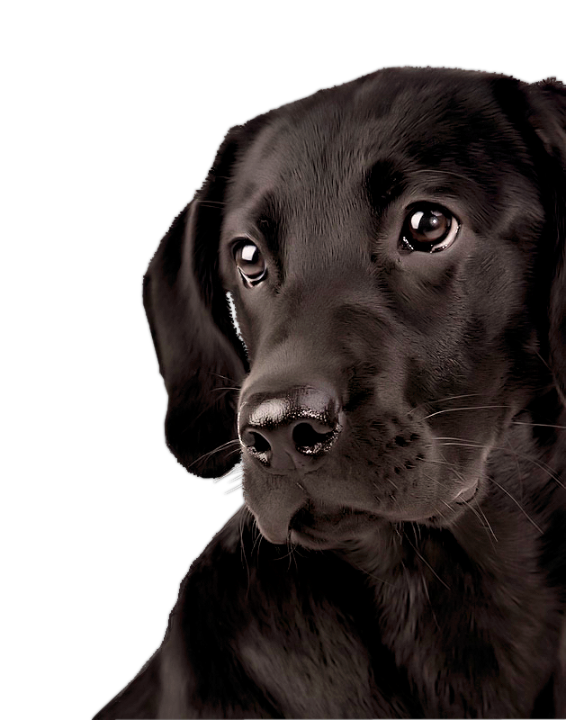 Morela Pick Me Lct 08 09 Png Na Yandeks Fotkah Labradorretriever Labrador Retriever Labrador Retriever Dog Labrador