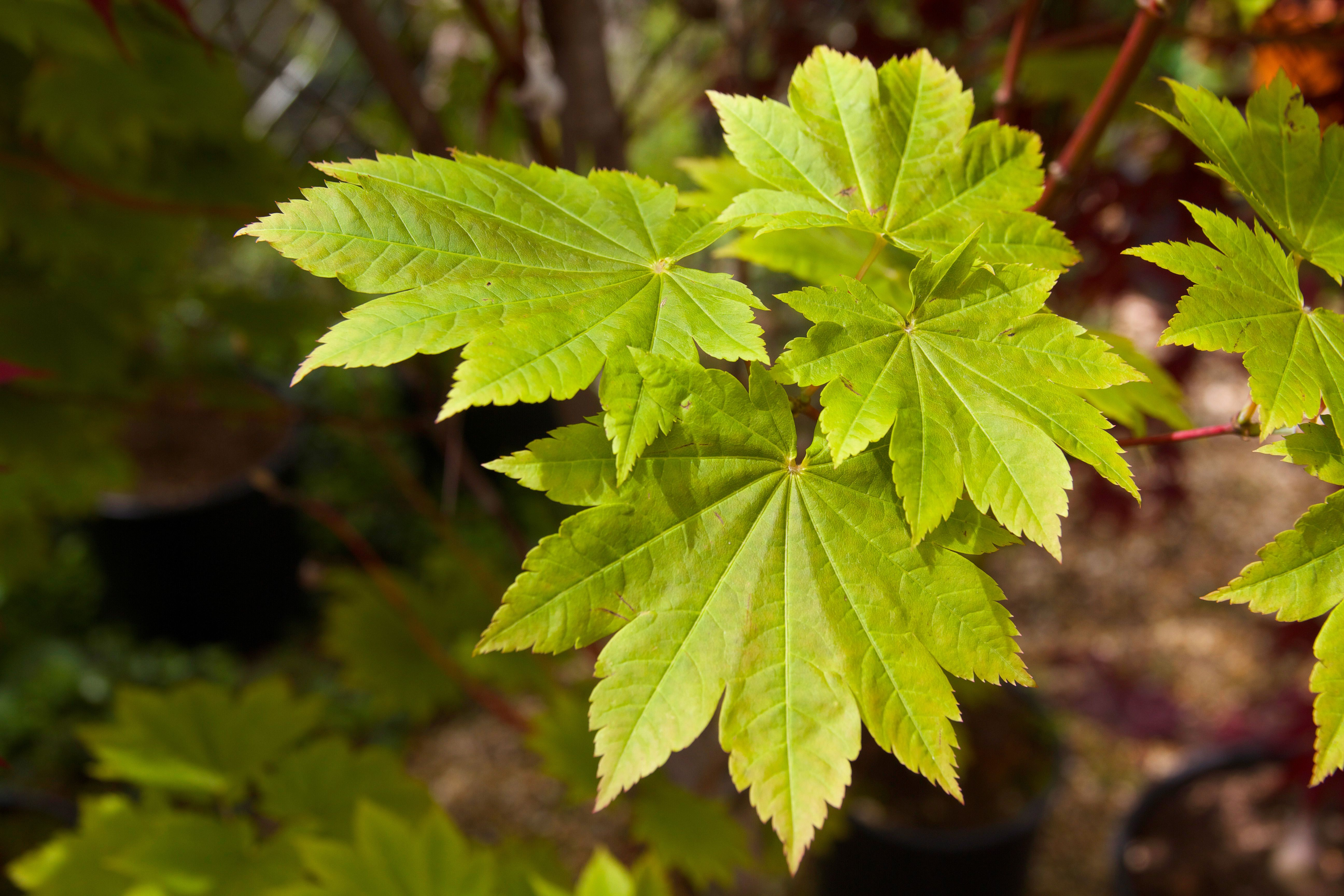 How to care for a fern leaf japanese maple - Plants