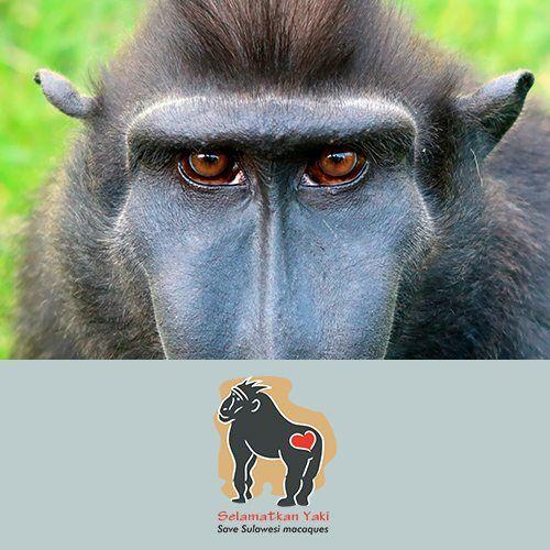 Selamatkan Yati - Save Sulawesi Macaques