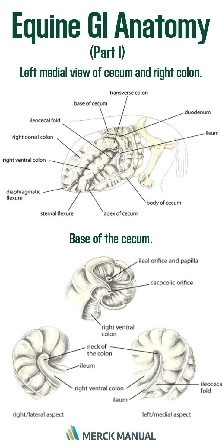 the small intestine of a horse comprises the duodenum jejunum and ileum with the latter joining the cecum at a distinct ileocecal junction learn more  [ 736 x 1472 Pixel ]