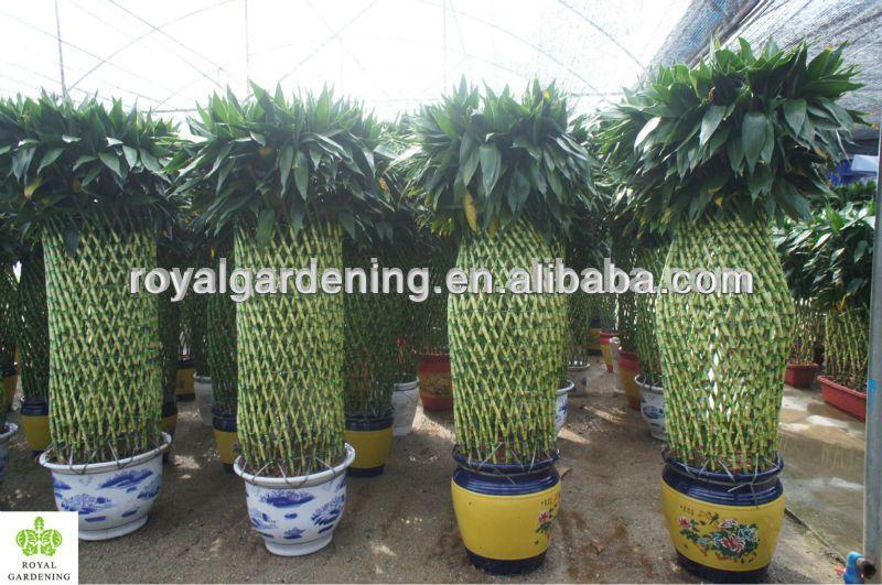 Lucky Bamboo ( Dracaena Sanderiana) Cage Shape Indoor Plant 200 220cm   Buy  Lucky Bamboo,Dracaena Sanderiana,Braided Lucky Bamboo Plant Product On  Alibaba. ...