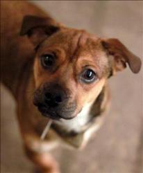 Pandora Is An Adoptable Pug Dog In Lexington Ky Hi My Name S