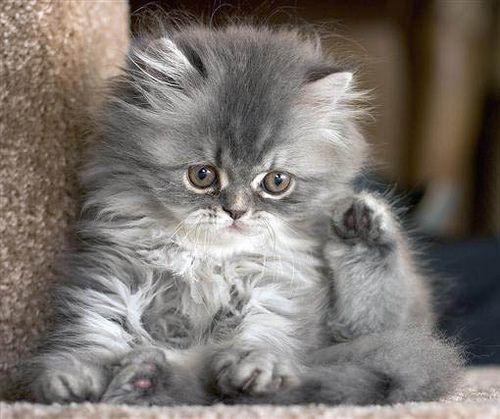 Funny Grey Tabby Kitten Fluffy Kittens Grey Tabby Kittens Kittens Cutest