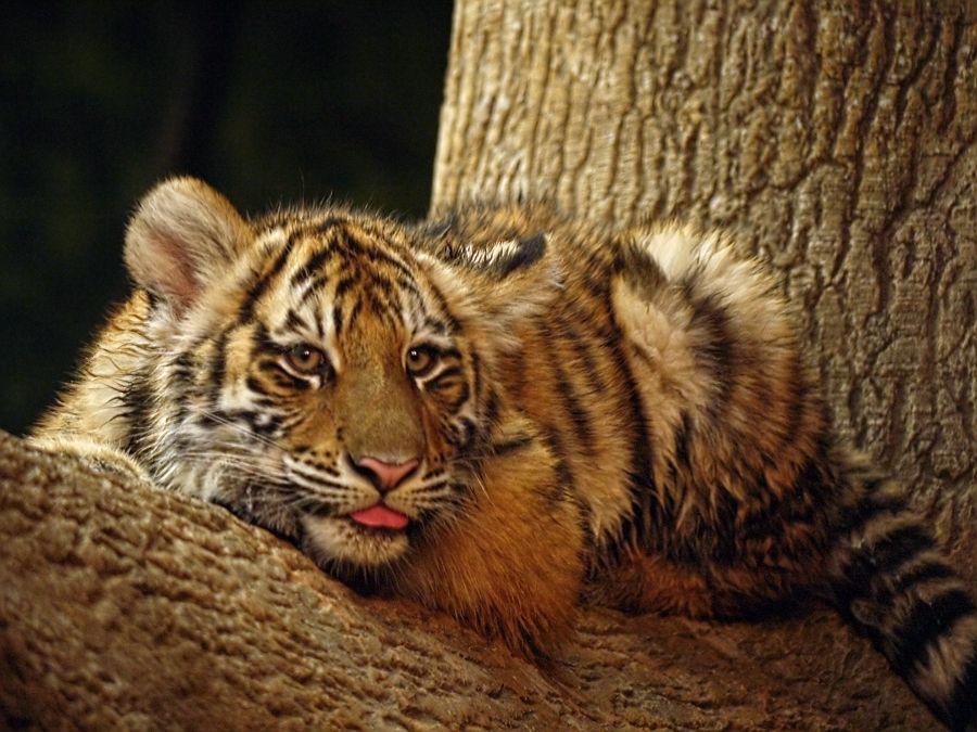 Tiger cub tree rascal