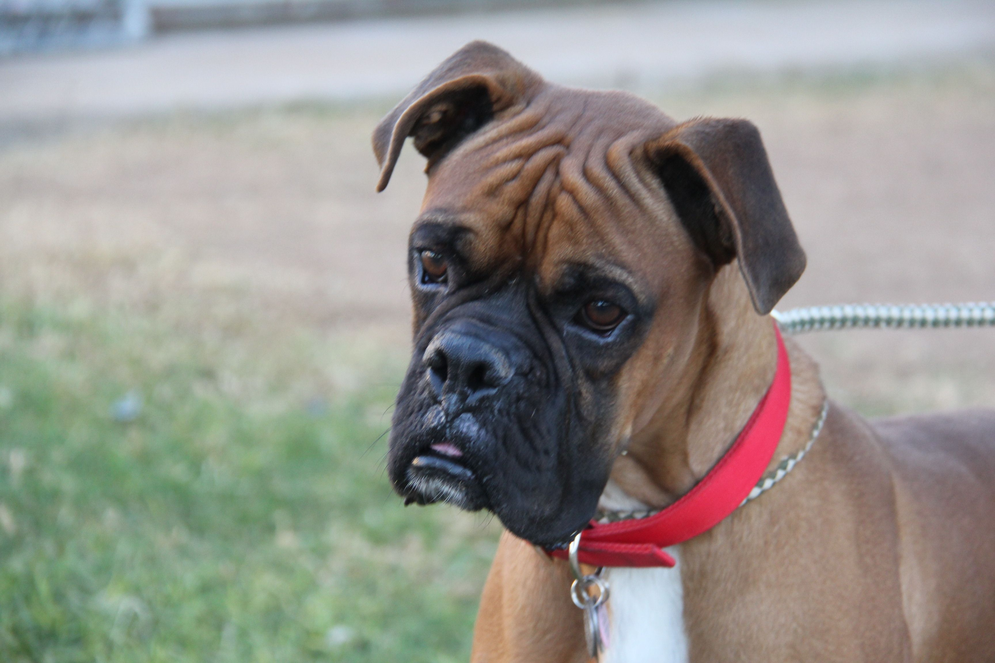 Boxer Dog For Adoption In Phoenix Az Adn 818046 On Puppyfinder Com Gender Male Age Adult Boxer Dogs Dog Adoption Boxer