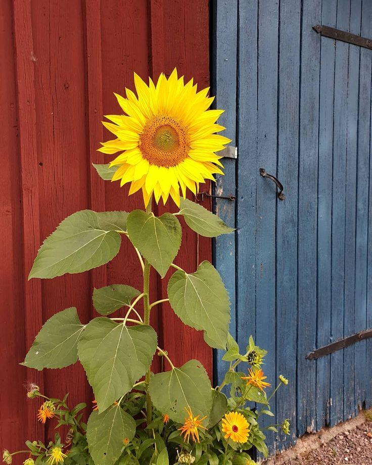 #canal cottage # sunflower # flowers # mint garden # autumn …