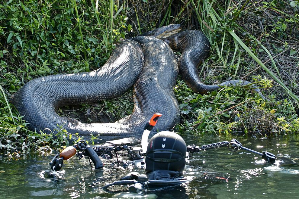 A diver gets up close to a huge anaconda resting on a riverbank. Thankfully, its swollen belly shows it had recently eaten a capybara and would have little interest in feeding again for a while.