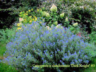 Bluebeard Dark Knight Caryopteris X Clandonensis Small Deciduous Shrub Like Perennial To 3 Feet With Green Mounded Habit Deep P