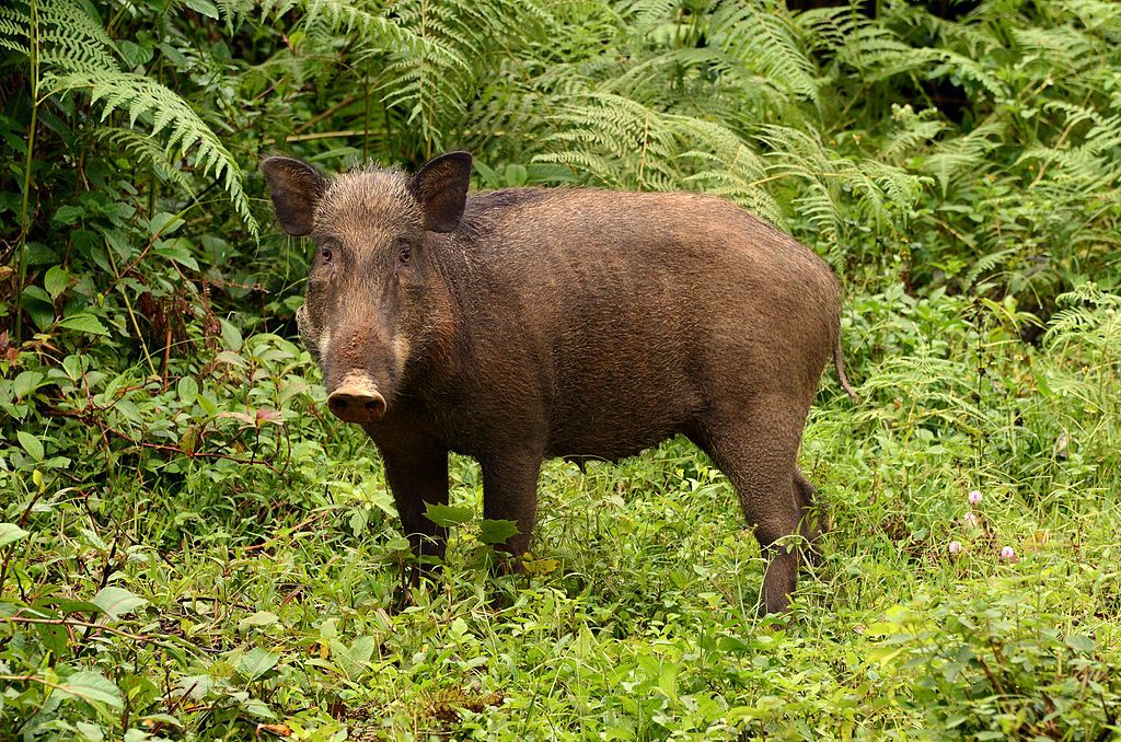 Herd of Wild Boars Kills Three ISIS Militants, Injures Five