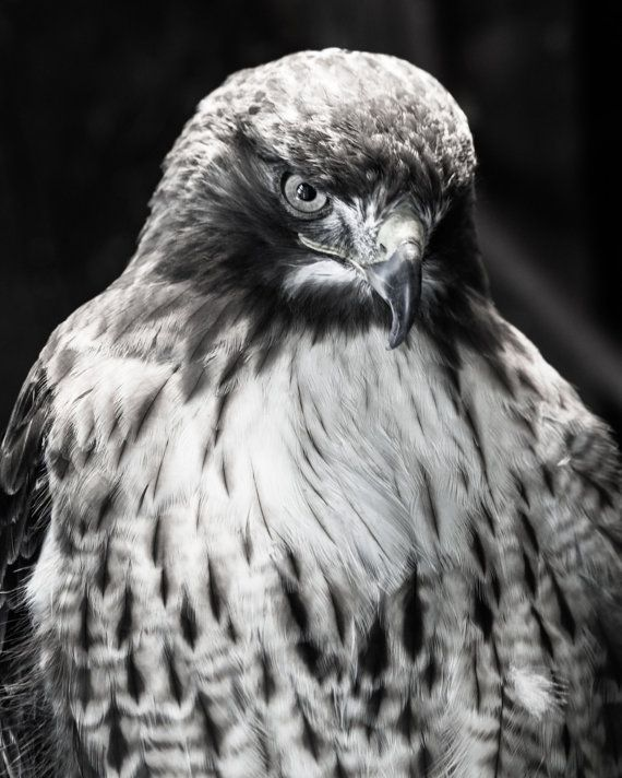 Bird Of Prey With Black And White Striped Tail 5