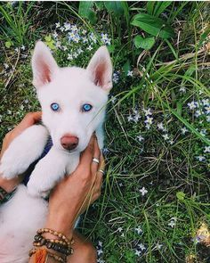 A husky puppy! Look at those cute blue eyes! What a sweetie.