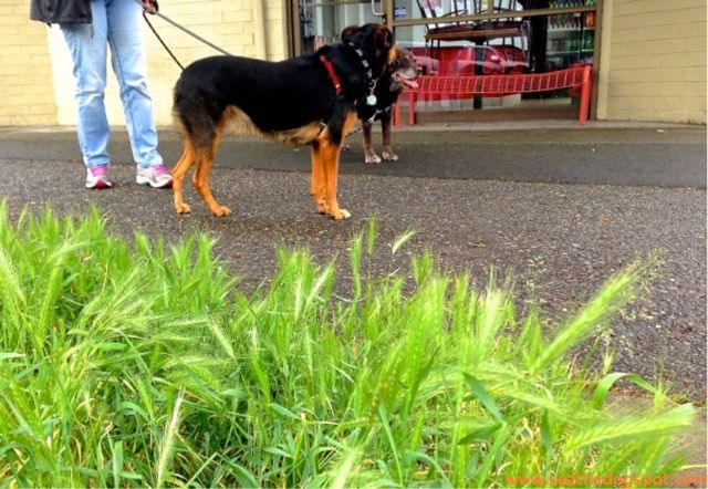 Foxtail Grass Can Kill Your Dog Seattle Dogspot Dog