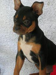 Sarah French Bulldog Chihuahua Mix An Adoptable Dog In San Jose