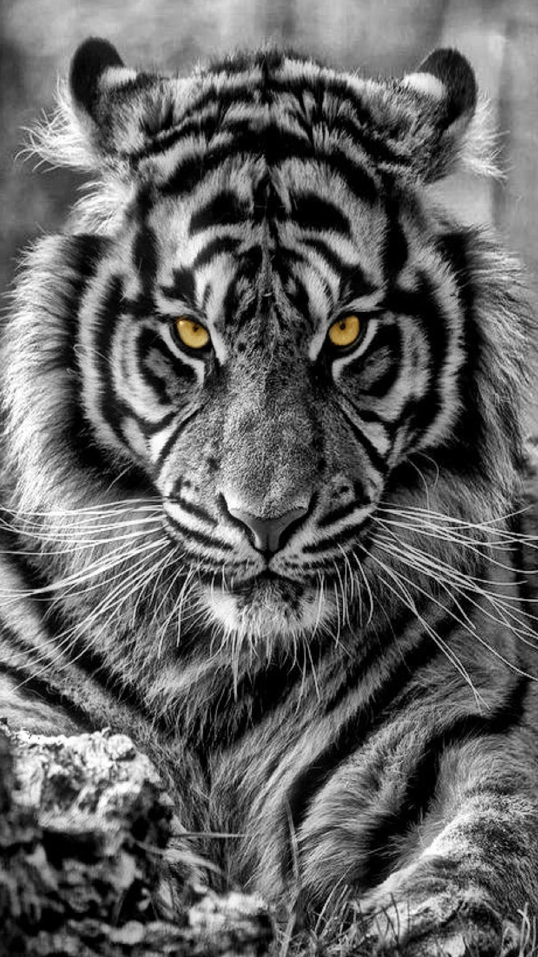 Tiger Wallpaper Mobile On High Definition Wallpaper On Flowerswallpaper Info If You Like It Iphone Andr Tiger Photography White Tiger Tattoo Tiger Pictures