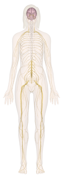 Human Anatomy Learn All About The Human Body By System At Innerbody