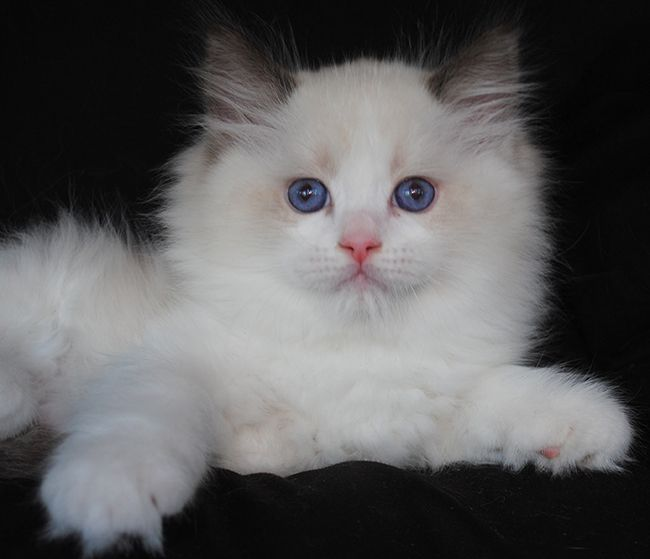 Available Ragdoll Kittens Ragdolls Kittens For Sale Ohio Chatons Ragdoll Ragdoll Chats Blancs