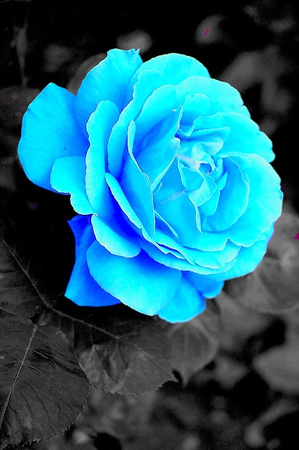 46627c281 ice blue roses - Google Search   my wedding   Blue roses wallpaper ...