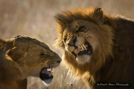 Mating ritual between the two lions