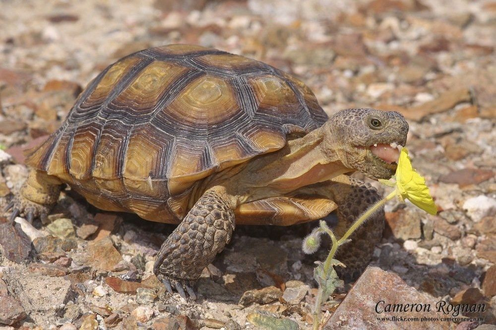 California Desert tortoises are an endangered species of