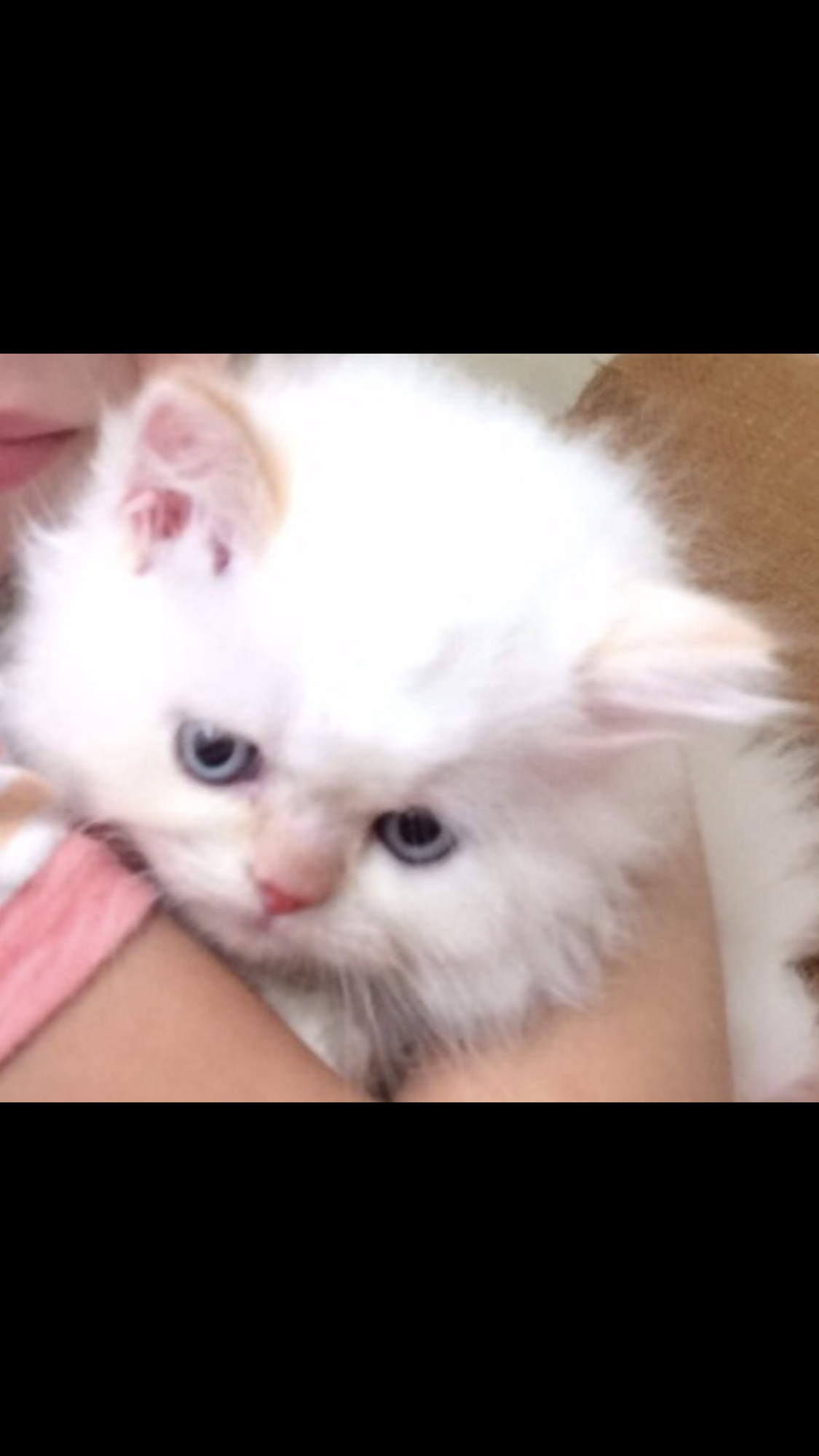 Flame point himalayan kittens for sale New Jersey http
