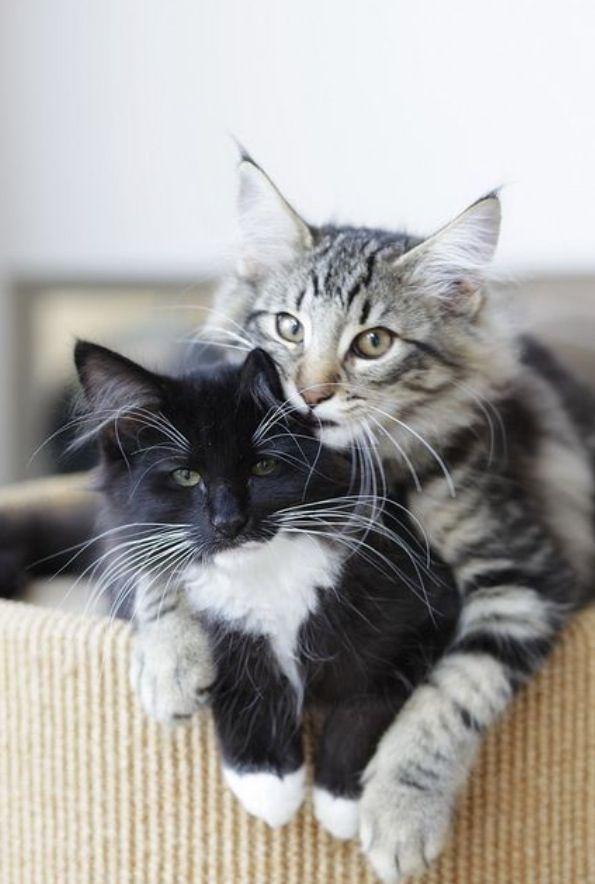Playmates Norwegian Forrest kittens