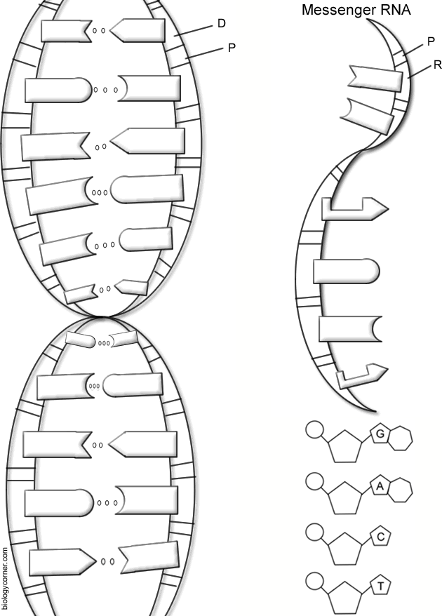 Dna Coloring Worksheet Answer Key : coloring, worksheet, answer, Barson, Science, Grade, Color, Worksheets,, Activities,, Facts