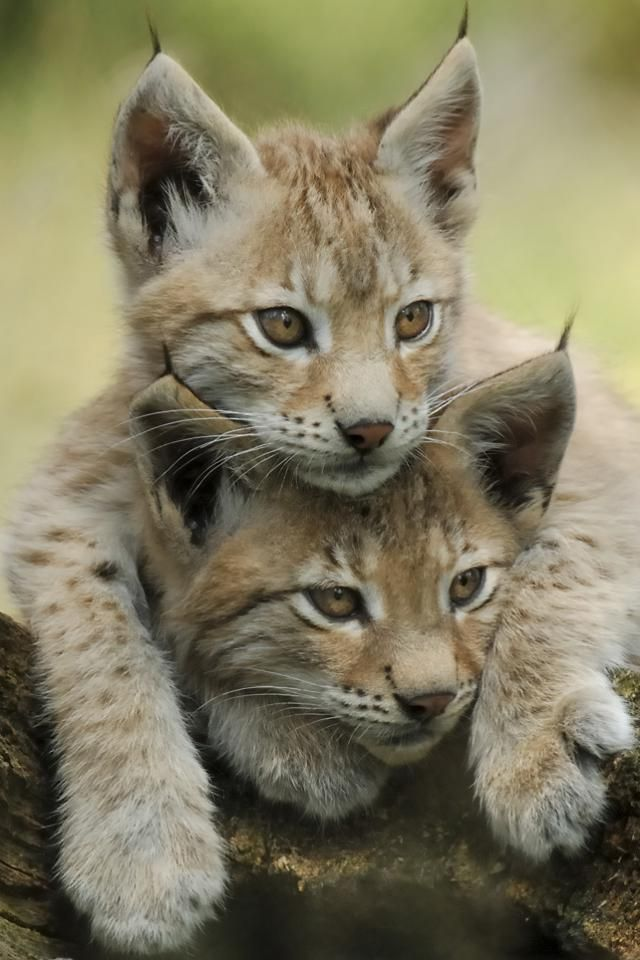 Lynx Kittens Lynx Have A Short Tail And Characteristic