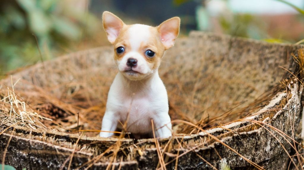 Rio Farm Chihuahua Breeder Based In Indonesia We Are The First