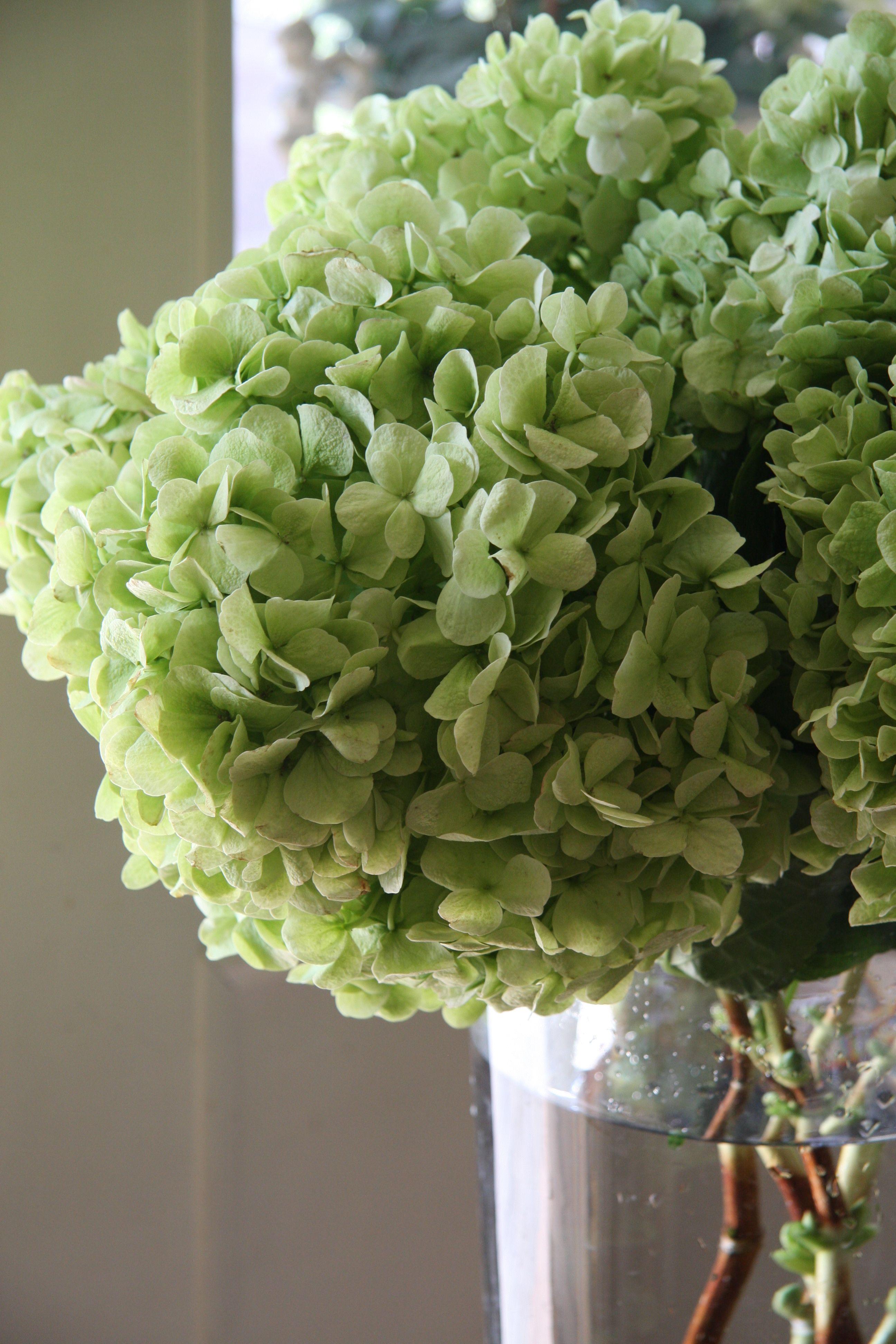 hydrangea Ivory classic green