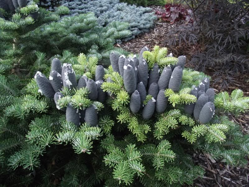 Abies X Koreocarpa Festival Conifers Garden Evergreen Garden