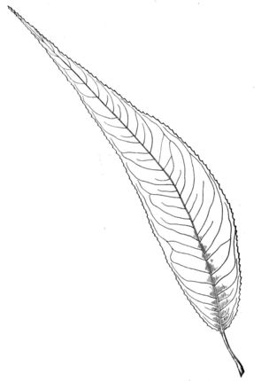 Almond Willow Leaf coloring page | coloring draw ...