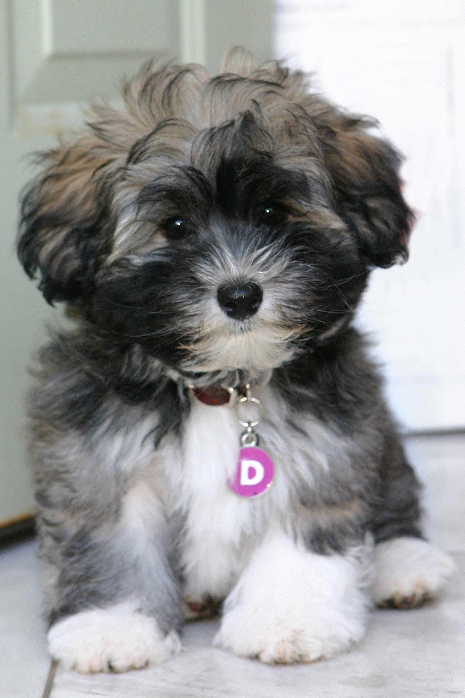 Havanese Dog Breed Information in 2020 Cute animals