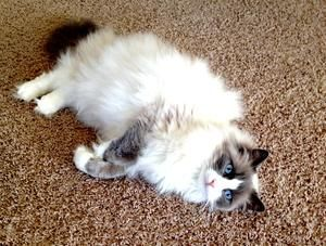 Adopt Gus On Ragdoll Cat Cats Cats And Kittens