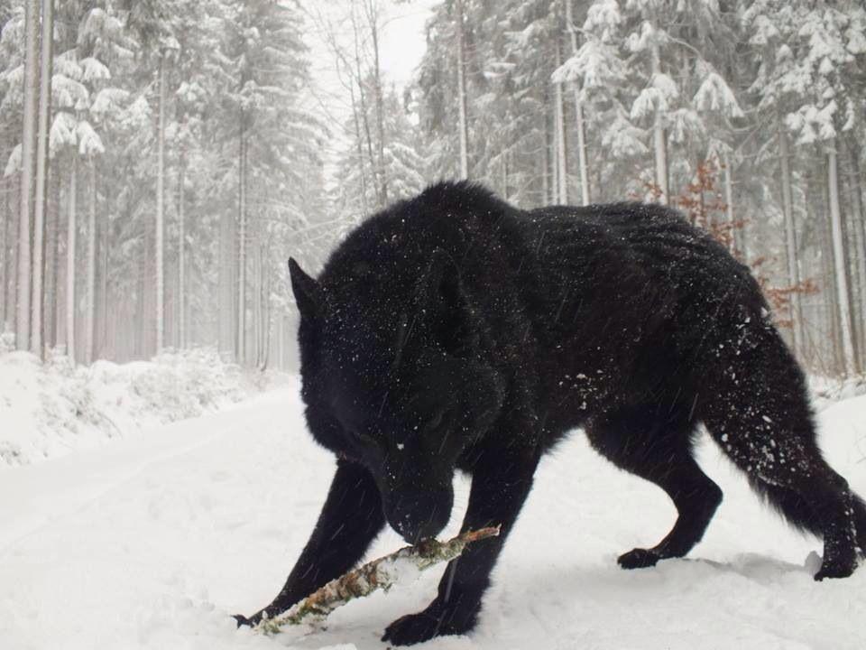 Black German Shepard Gorgeous Dog Life Pinterest Wolf Dogs