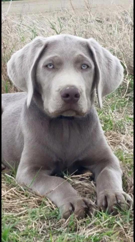 Labrador Retriever Training #labradorretrieverpuppies