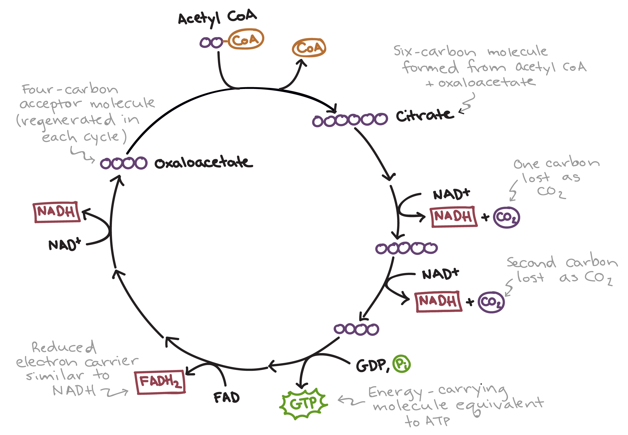 the citric acid cycle Biology multiple choice questions and answers for different competitive exams.