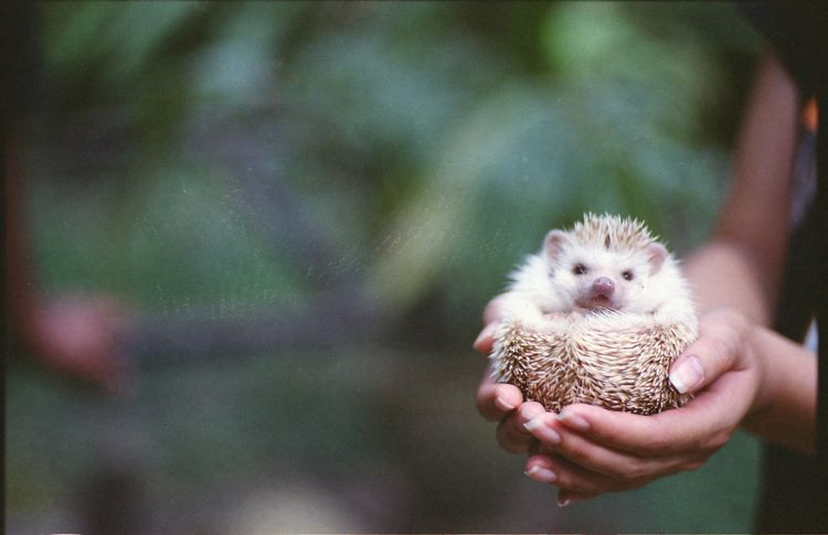 Keeping And Caring For Pet African Pygmy Hedgehogs Cute Animals Cute Hedgehog Pygmy Hedgehog