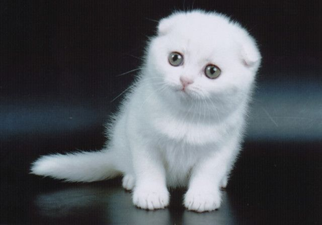Such A Sweet Scottish Fold Kitten Cat Scottish Fold Cats And