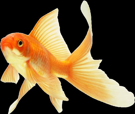 Background Goldfish Transparent Goldfish Goldfish Art Fish Painting