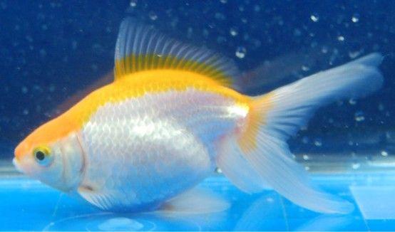 Goldfish Yellow And White Fantail Sideview Goldfish Goldfish Pond Fish Ponds