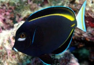 White Cheek Tang A Beauty With Images Marine Aquarium Tang Fish Mandarin Fish